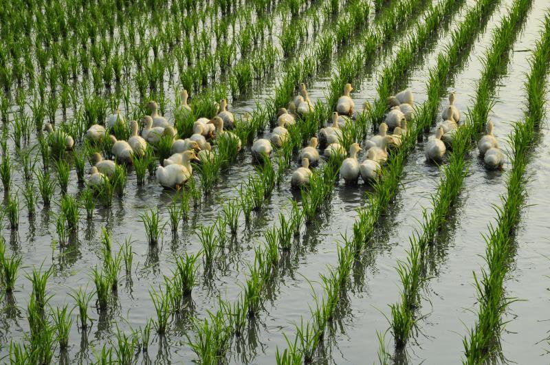 山水米有機稻場 鴨間稻