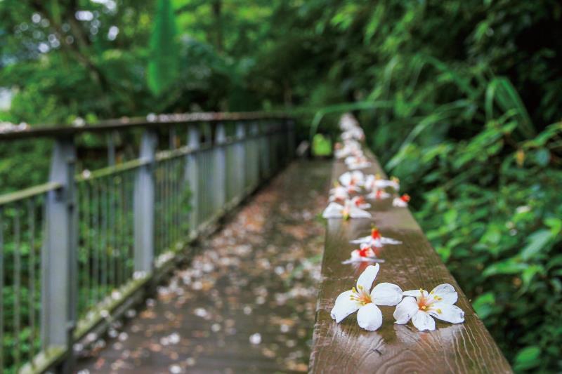 四十二份坪步道 桐花